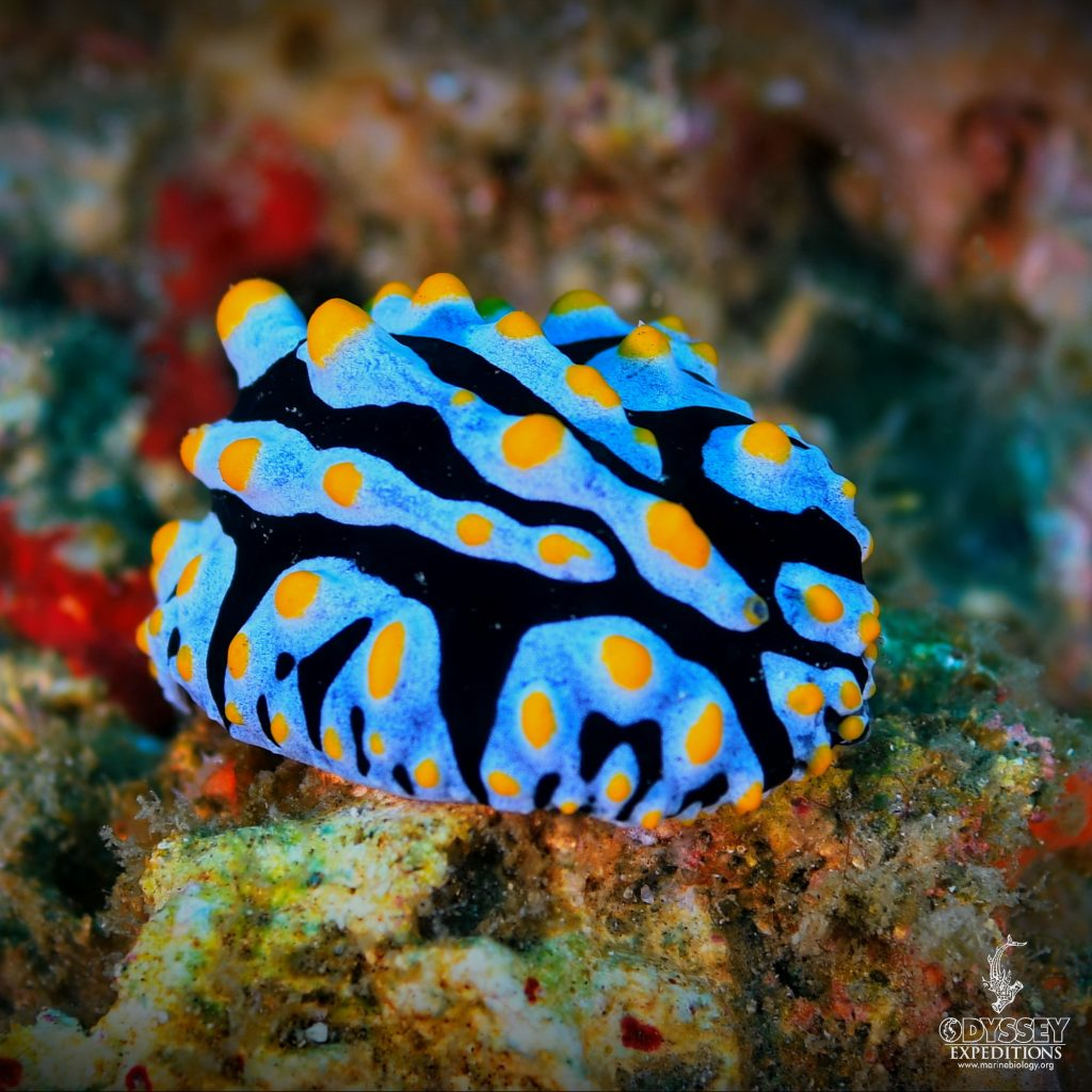 Sky Blue Phyllidia Nudibranch - Phyllidia varicosa -