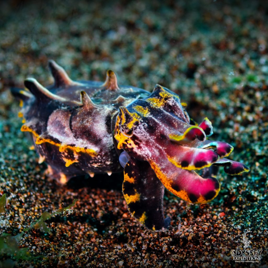 Flamboyant Cuttlefish - Metasepia pfefferi