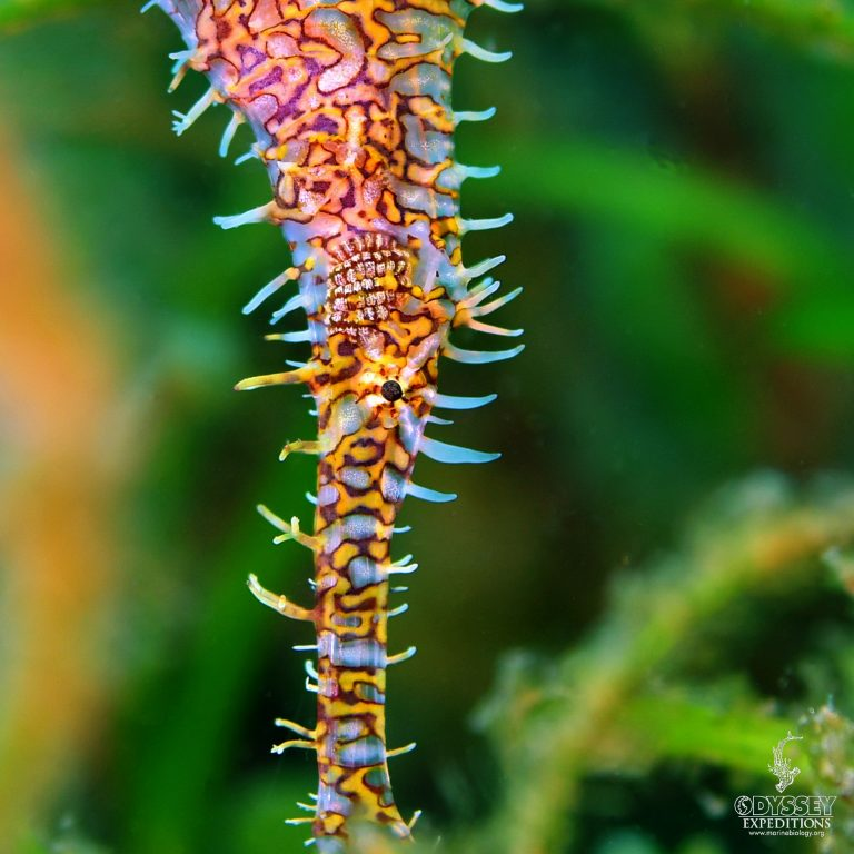 Ornate Ghost Pipefish - Solenostomus paradoxus