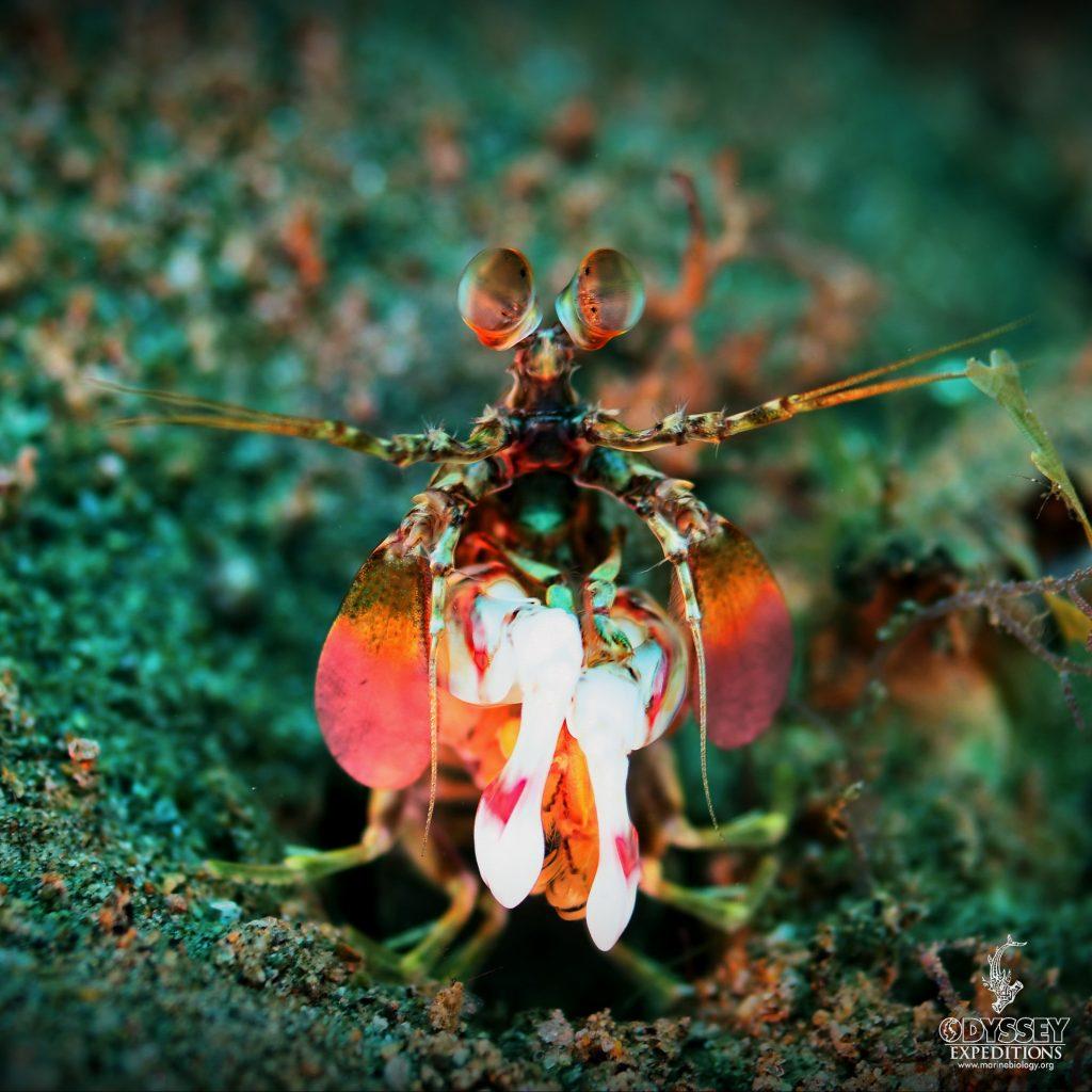 Peacock Mantis Shrimp - Odontodactylus Scyallarus