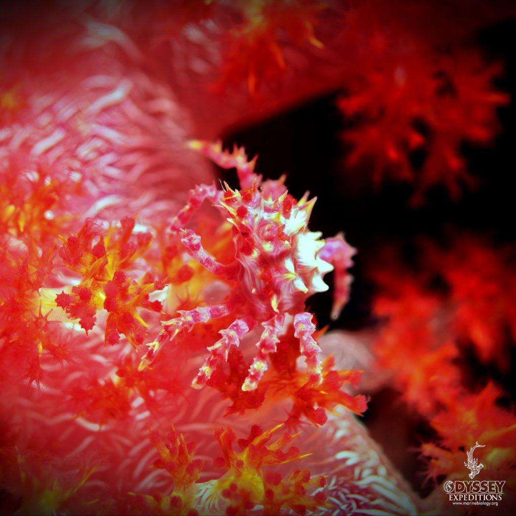 Candy Crab - Hoplophrys oatesi