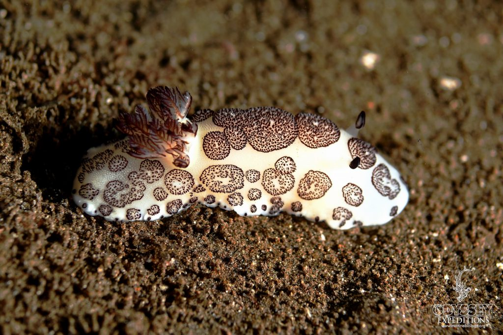 The Funeral Nudibranch - Jorunna funebris