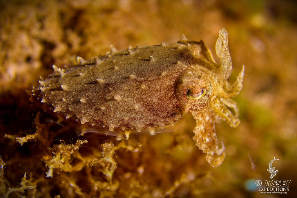 Stumpy Cuttlefish