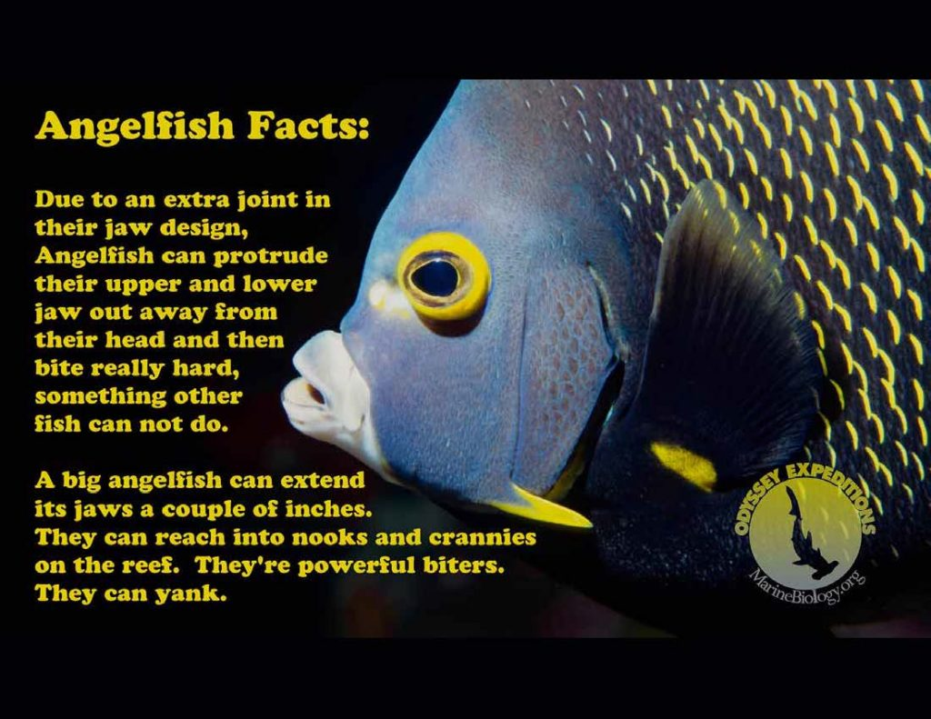 Angelfish Mouth