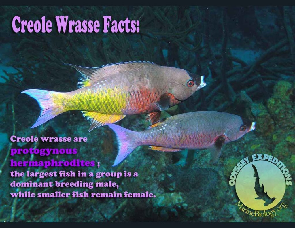 Creole Wrasse Fact