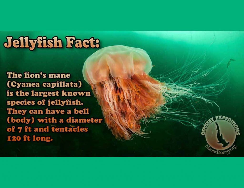 Lion's Main Jellyfish