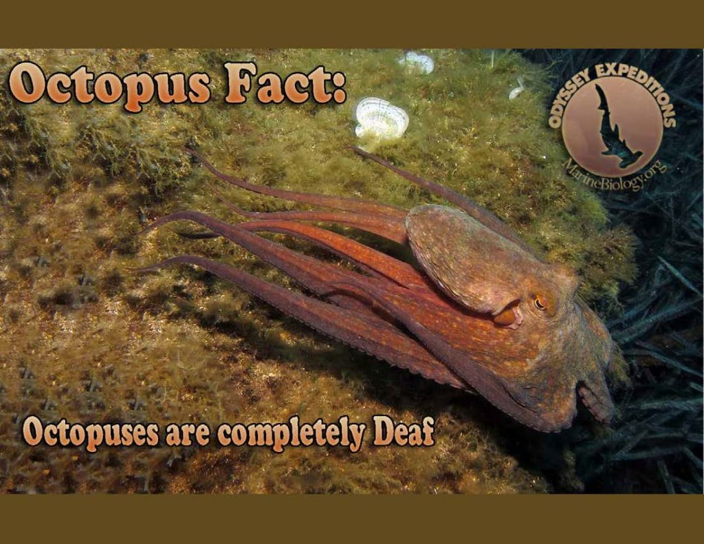 Octopus Fact