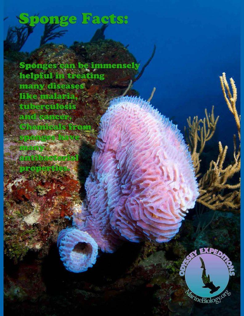 Sponge fact