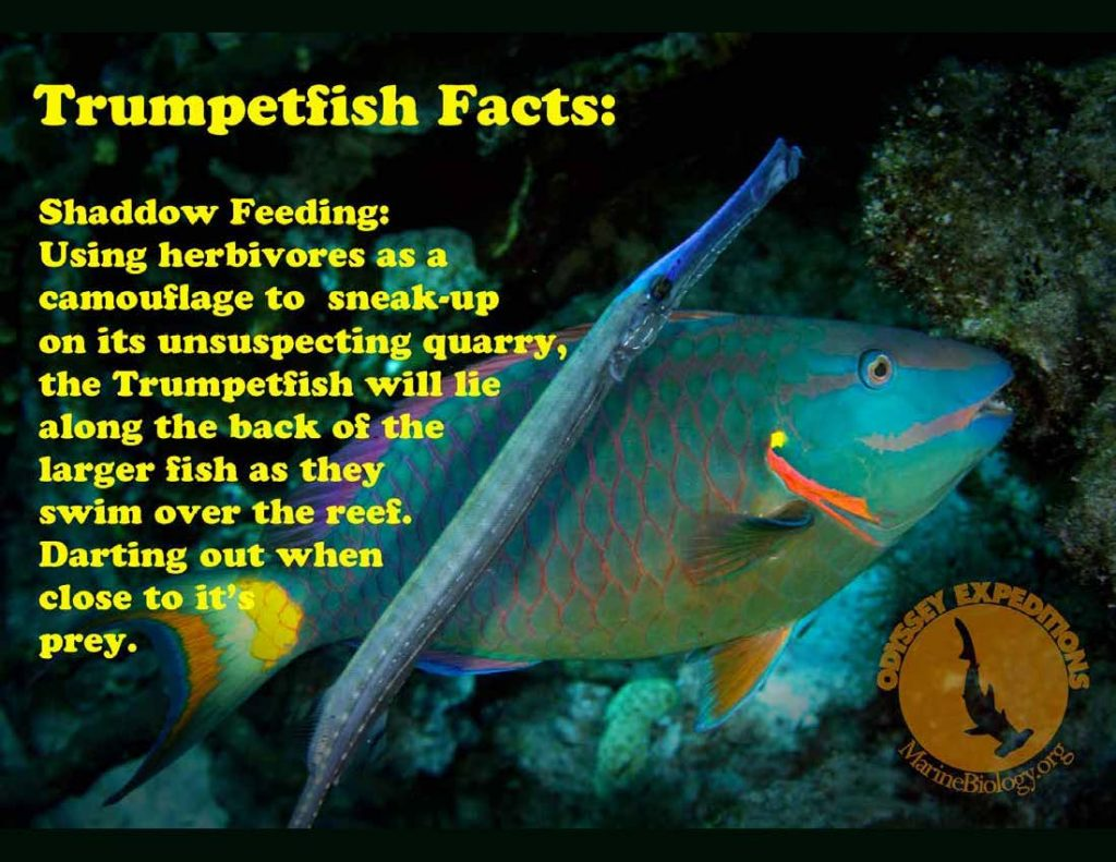 Trumpetfish Fact