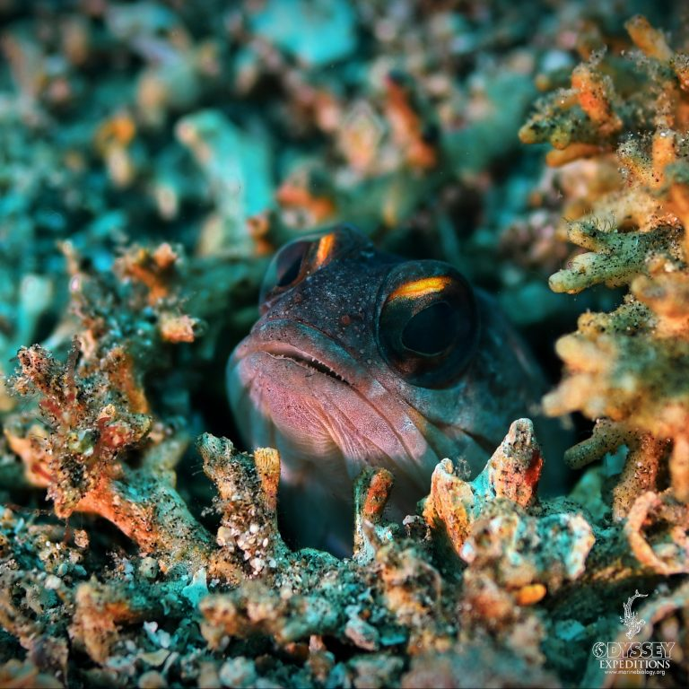 Yellowbarred Jawfish - Opistognathus randalli