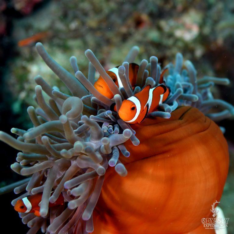 Clark's Anemonefish - Amphiprion Clarkii