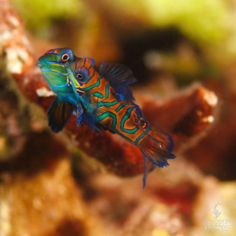 Mandarinfish - Synchiropus splendidus