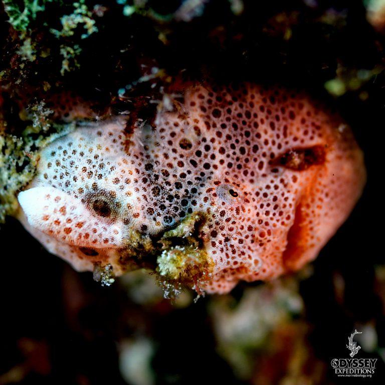 Painted frogfish - Antennarius pictus
