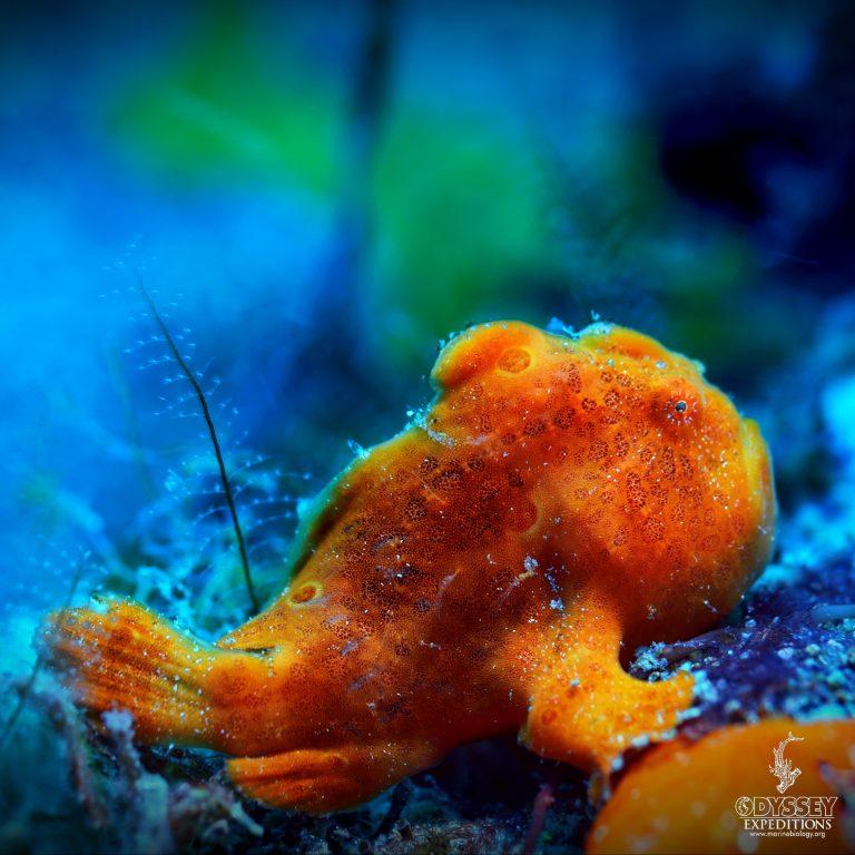 Painted Frog Fish - Antennarius pictus